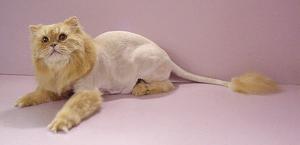 Кошки не вызывающие аллергию у людей породы. На каких кошек нет аллергии? На какой малоалергенной породе кошек остановить выбор