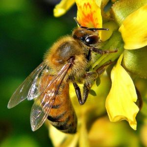 local honey for hay fever