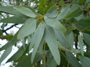 eucalyptus oil for cold