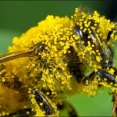 bee covered in grass pollen