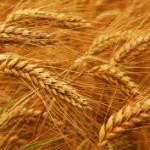 Nonceliac Wheat Sensitivity is associated with Autoimmune Disease