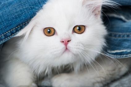 Steckbrief Perser - Katze
