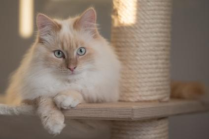 Steckbrief Heilige Birma - Katze