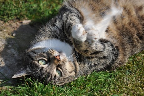 Getigerte Hauskatze auf dem Rücken liegend