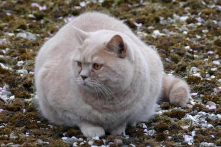 Übergewichtige Hauskatze