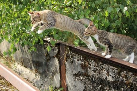 Zwei Tigerkatzen beim Sprung von der Mauer