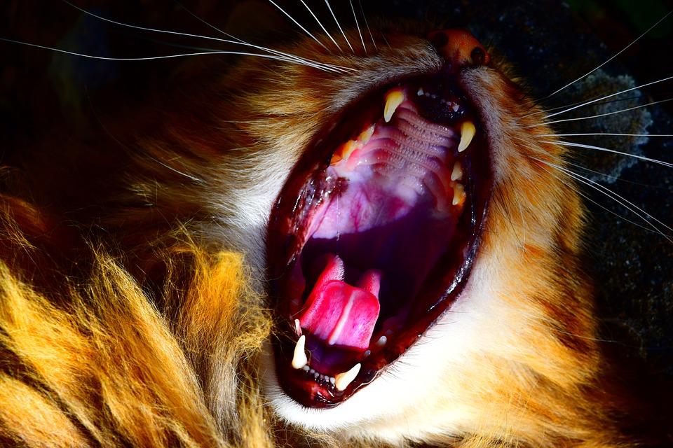 Wie viele Zähne hat eine Katze?