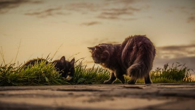 Zwei geschlechtsreife Katzen
