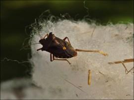 Käfer in der Wolle