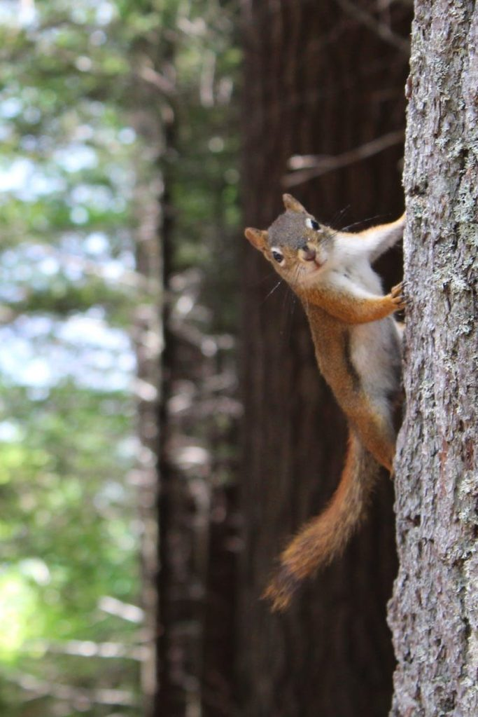 brown squirrel on gray tree trunk