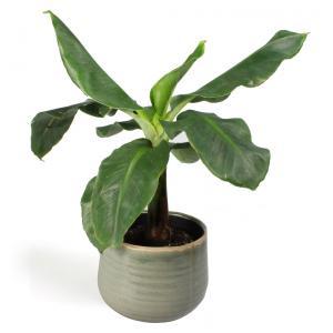 All in 1 kamerplant Bananenplant Musa dwarf cavendish XS in iris mint bloempot