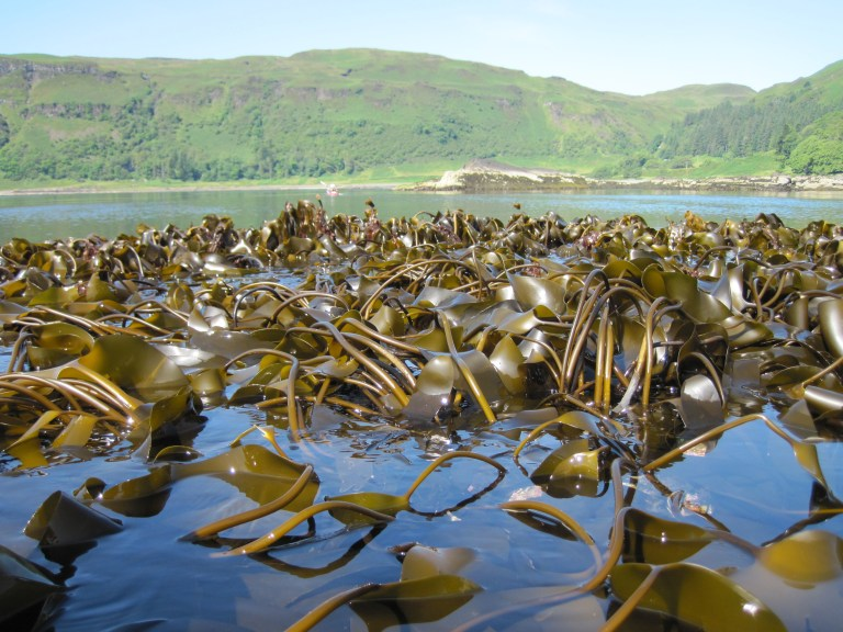 kelp at low tide, just of the coast of Mull