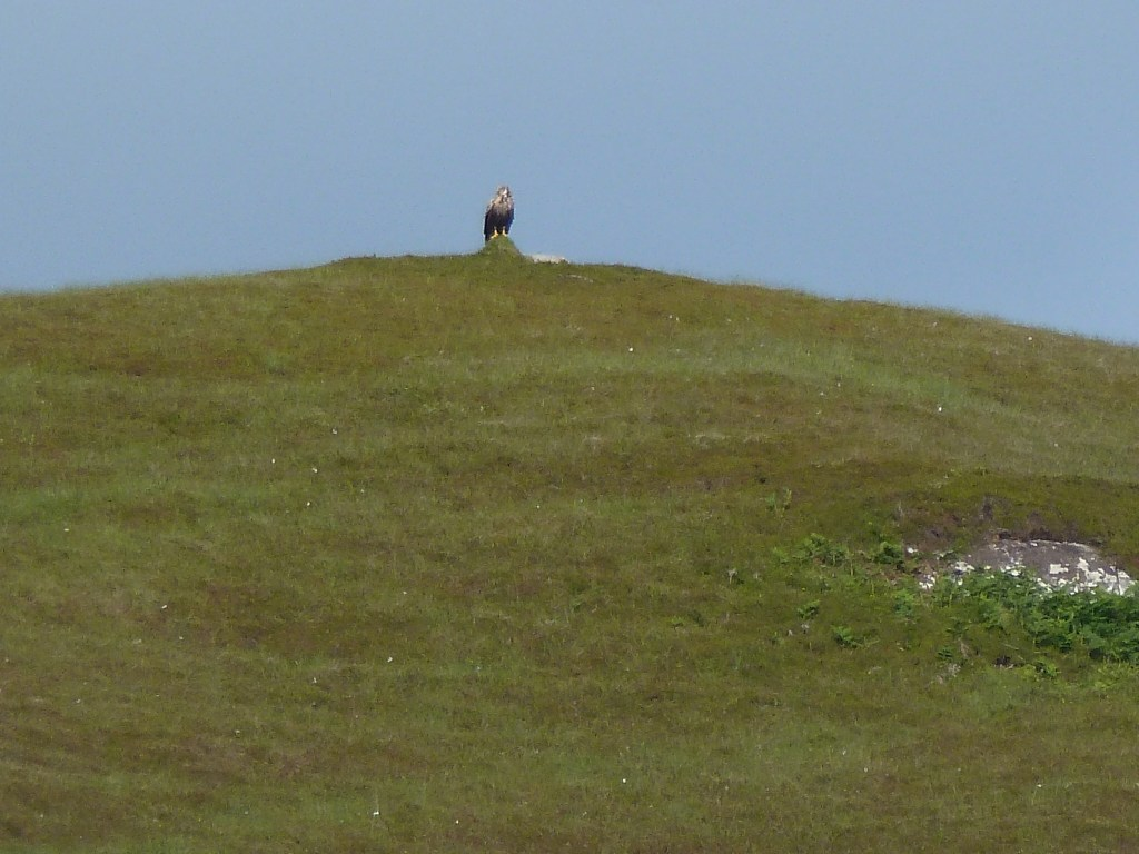 White tailed sea eagle perched on a cairn