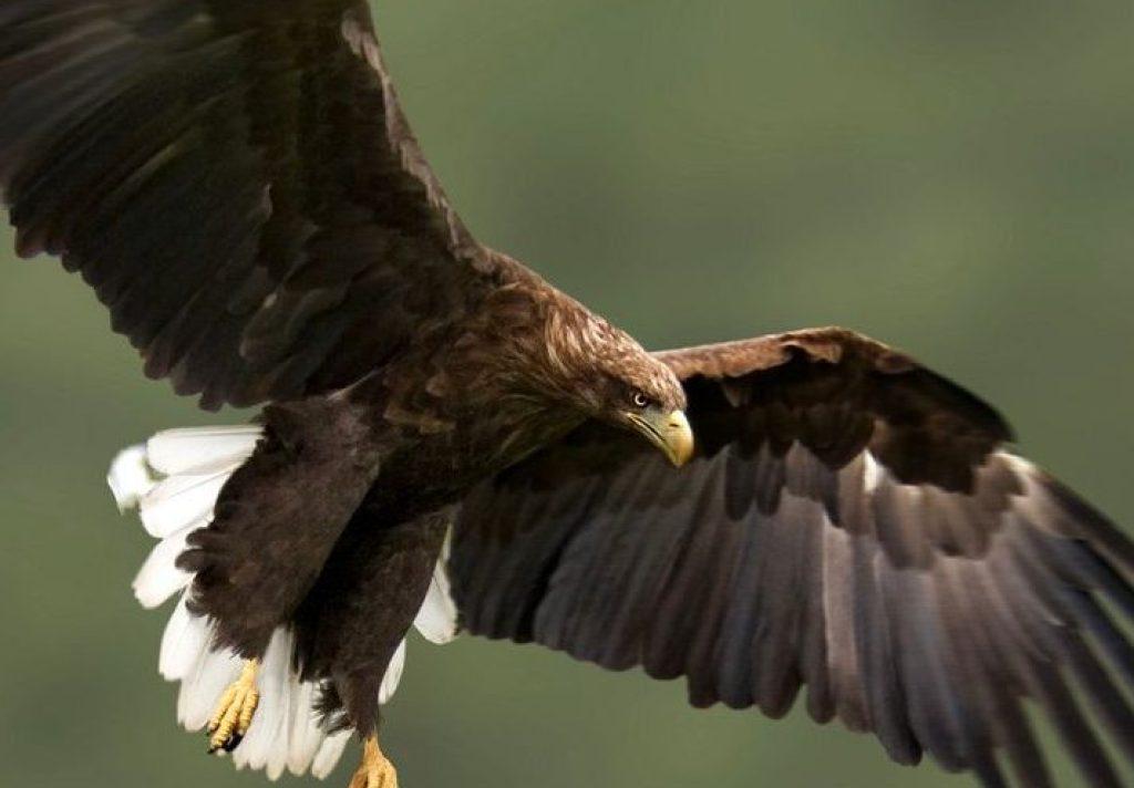 White-tailed_Eagle_34