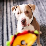 Adopted pitbull birthday pictures plus tips on adopting pets