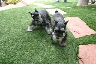 cesped artificial mascotas