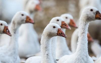 lmportverbot für tierquälerisch erzeugte Stopfleber