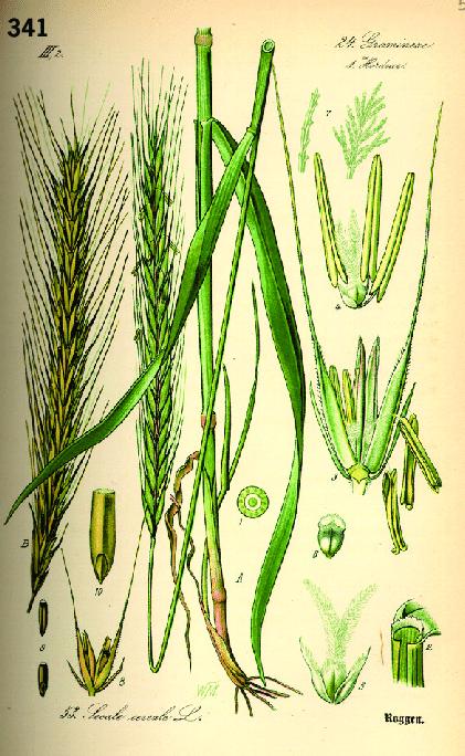 planche blé bio