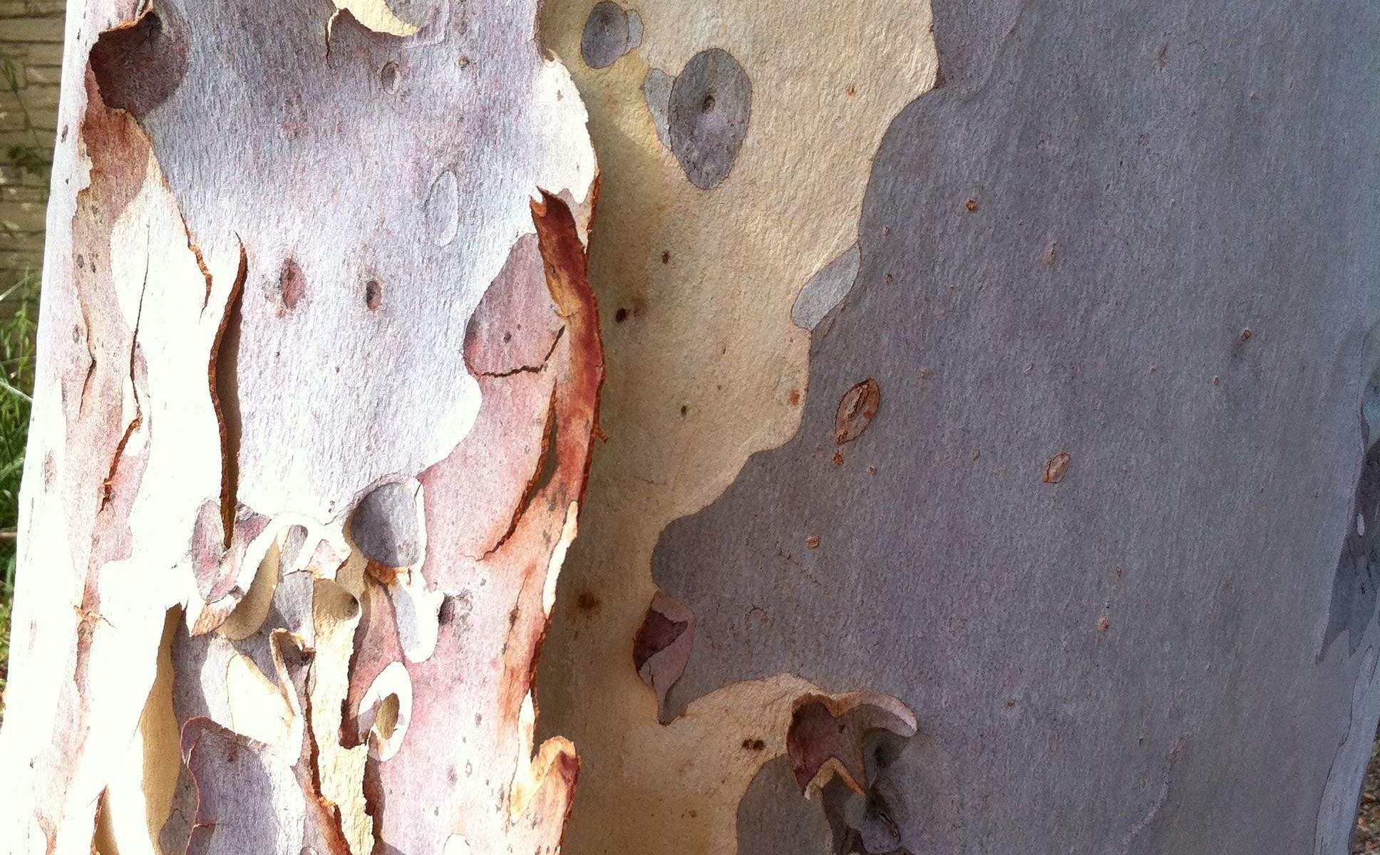 Peeling Bark on a SoCal Eucalyptus