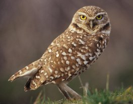 burrowing_owl_don_baccus
