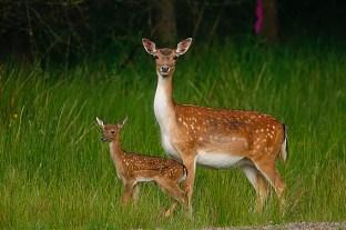 fallow-deer-5