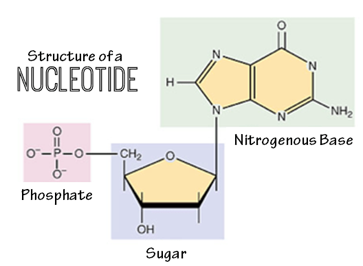 DNAnucleotide.png
