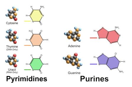 DNAPurinePyr