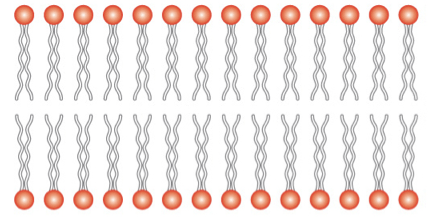 lipidsbilayer