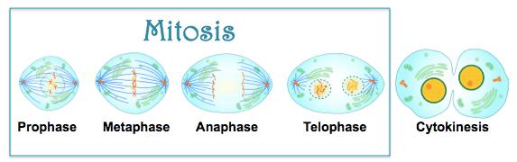 MitosisFlow