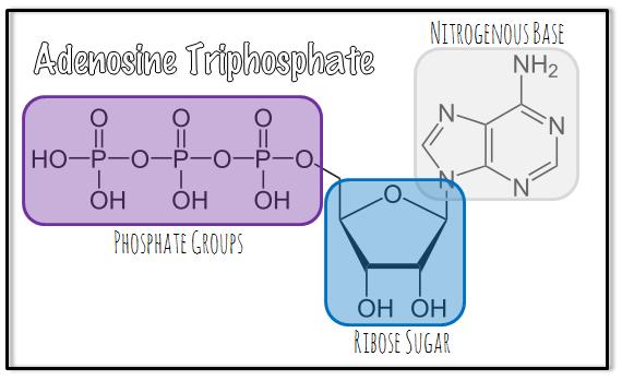 nucleicacidsATP