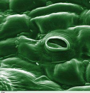 photosynthesisstoma