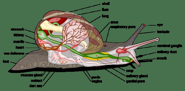 snailanatomy.png