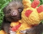 sloth cuddle