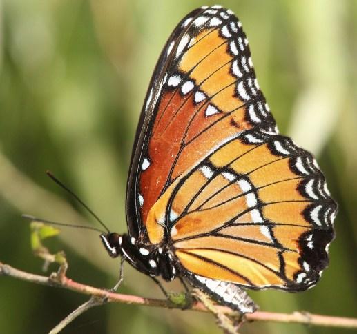 viceroy-butterfly-1550407_1920.jpg