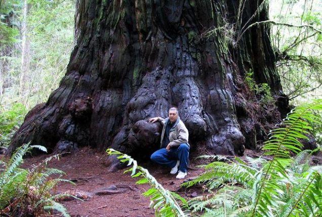 A Redwood Tree