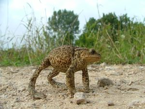 A common toad adopting a defensive stance