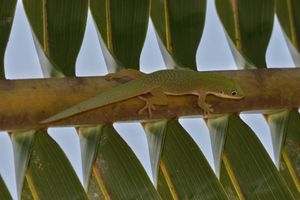 A camouflaged Phelsuma deubia on a palm frond