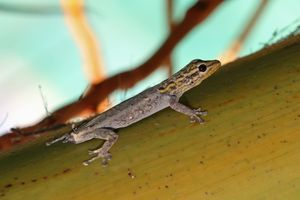 A White-headed dwarf gecko with shed tail