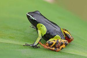 Variegated golden frog