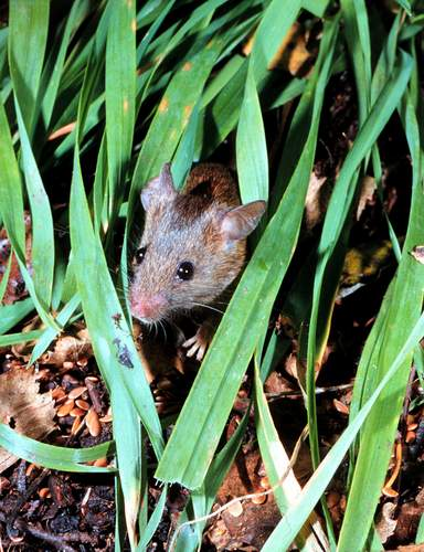 mickey-mouse-munching-mulch-in-muddy-marsh