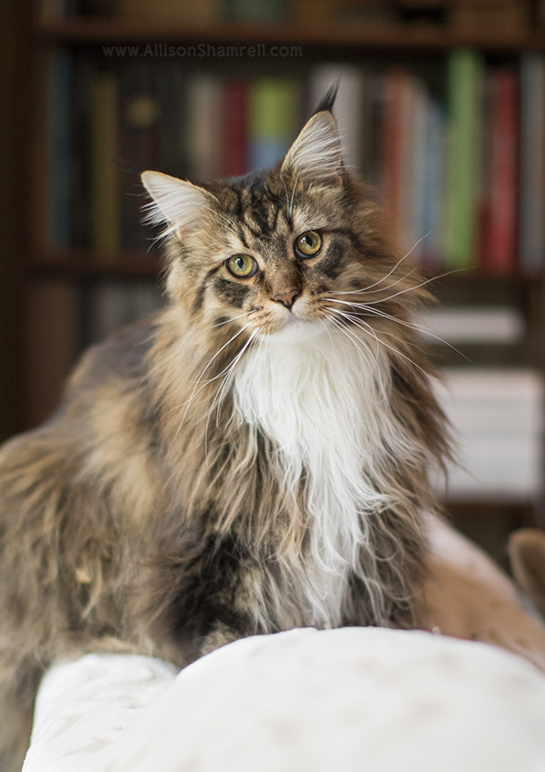 Maine Coon Kittens For Sale | Maine Coon California | San Diego