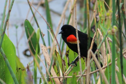 BLACKBIRD trying unsuccessfully to hide among the reeds. Orlando Wetlands Park, Christmas, FL