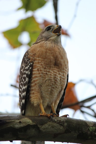 Young hawk.