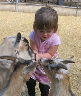 Ady feeding goats