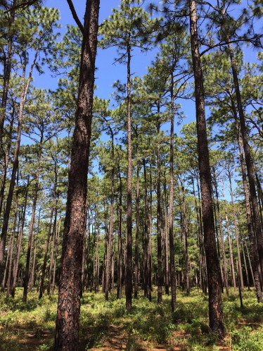 Nature's cathedral. Ocala National Forest, FL
