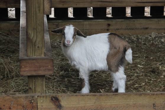 goat IMG_4144