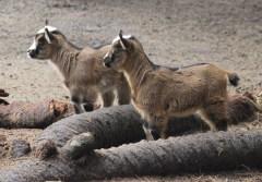 goats IMG_4156