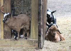 goats IMG_4284