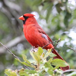 CARDINAL. He's trying to decide if he should let me take his photo.