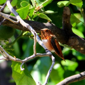 Hummingbird best IMG_5889